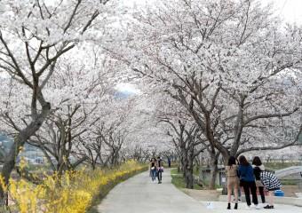 탐진강 벚꽃길 따라 봄이 '성큼'