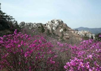연분홍으로 갈아입은 주작산(朱雀山)